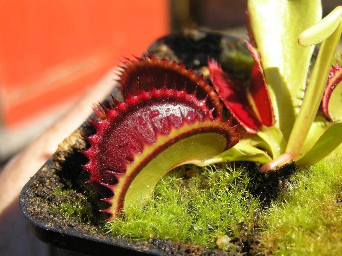 Dracula young traps? - Dionaea - Carnivorous Plants UK